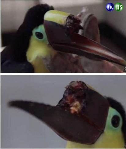 活活打斷嘴 大嘴鳥再也無法進食 |