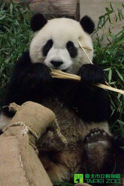 清明連假不休息 圓仔照常上課吃美食 | 大貓熊寶寶「圓仔」