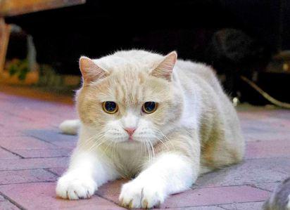 貓咪人氣紅不讓! 忌廉哥助流浪貓狗 | 香港人氣貓咪忌廉哥
