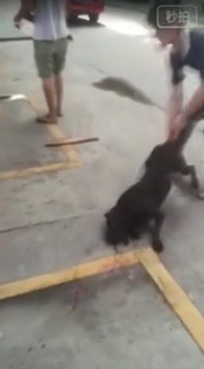 畜牲不如! 鬥狗打輸 主人當場摔死狗 | 男子抓著黑狗的尾巴將牠重摔在地