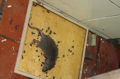 驚!消保處抽查婚宴會館 竟有死老鼠 |