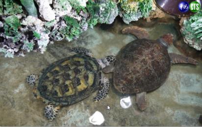 不敢相信! 澎湖有綠蠵龜養在許願池   綠蠵龜。