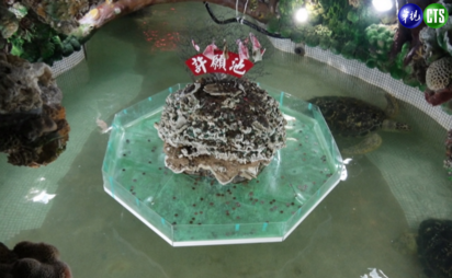 不敢相信! 澎湖有綠蠵龜養在許願池   綠蠵龜住在許願池裡。