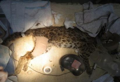 瀕絕石虎受傷倒路邊 民眾誤認虎斑貓... |