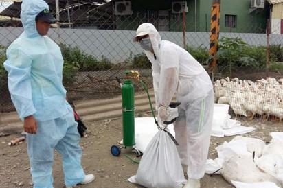 3肉鴨場再傳疫情 禽流感再撲殺萬隻 |