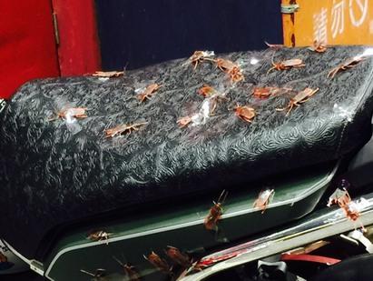 小強你怎麼了?! 機車上大集合   坐墊還有龍頭都被貼上假小強。