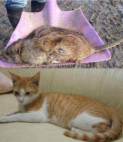 好噁心! 巨鼠大如貓 專家憂連藥都殺不死 |