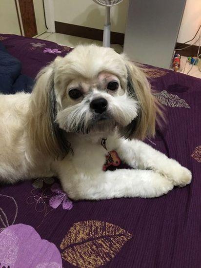 「眼睛旁邊修一下」小狗送回家樣子超悲劇... | 眼睛周圍的毛髮被剃光。翻攝爆廢公社。