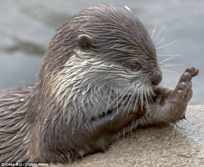 「拜託!拜託!」 萌水獺雙手合十祈禱 |