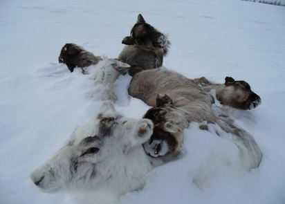 8萬頭馴鹿餓死 氣候極凍變遷是禍因 | 馴鹿因冰層過厚.無法取得食物餓死.