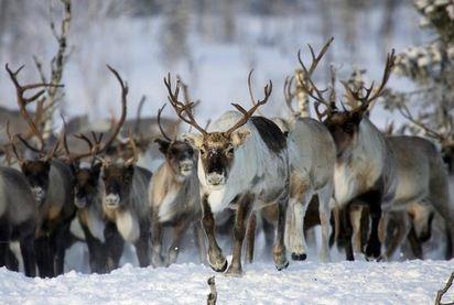 8萬頭馴鹿餓死 氣候極凍變遷是禍因 | 俄羅斯雅馬半島是全球最多馴鹿棲息的地區.