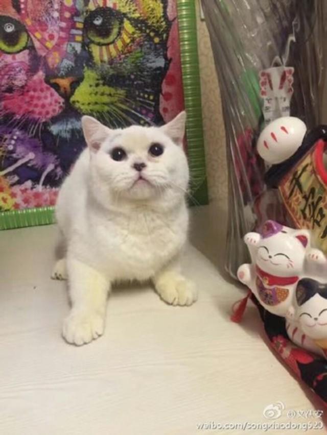 這隻短毛貓相當可愛討喜。(圖/翻攝「文飫安」微博)