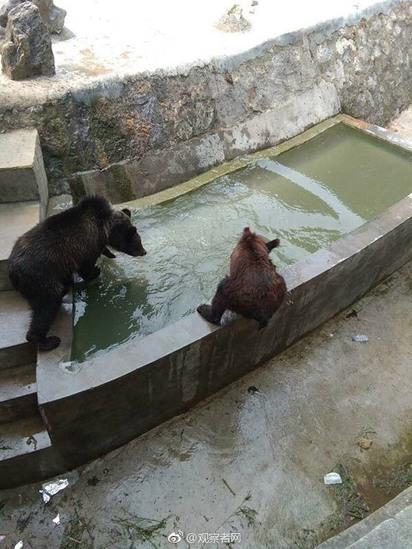 大陸棕熊瘦到皮包骨 園方稱生長期挨批 |
