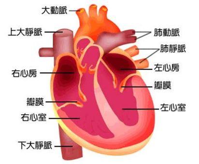 運動後水腫 恐是心臟疾病警訊! | 心臟圖。