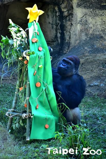 【圖】溫馨! 動物園也過耶誕 豪華大餐長這樣 | 金剛猩猩的耶誕樹大餐(台北市立動物園提供)