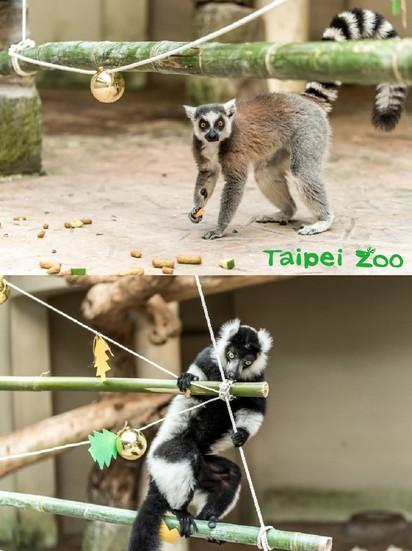 【圖】溫馨! 動物園也過耶誕 豪華大餐長這樣 | 環尾狐猴的耶誕大餐(台北市立動物園提供)