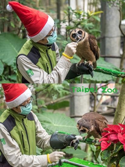 【圖】溫馨! 動物園也過耶誕 豪華大餐長這樣 | 褐林鴞「雪寶」與保育員(台北市立動物園提供)