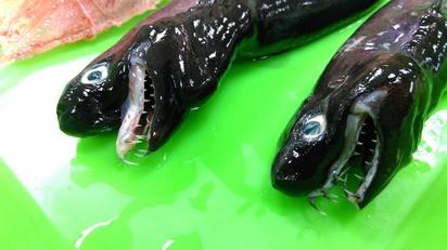台東外星怪魚全球僅3處有 漁民捕獲方法曝光!   外星怪魚近照。(水試所提供)