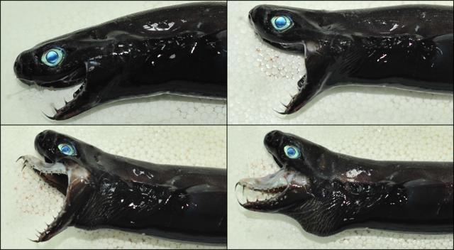 突襲捕食方式(A:張開下顎、B:最大化伸展下顎、C:突然伸出上顎、D:緊閉上下顎)