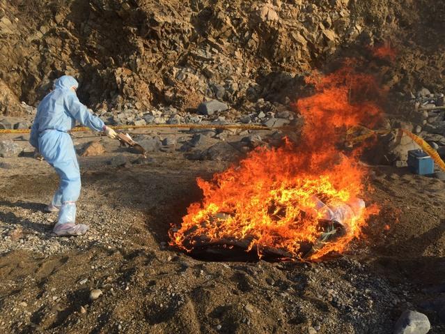 採集檢體後,將豬隻屍體焚毀。(農委會提供)