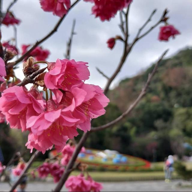 花迷們照過來!  陽明山花季浪漫開跑 | 民眾可以沿著櫻花步道,享受落櫻紛飛的櫻花林區。(圖/陽明山花季臉書)