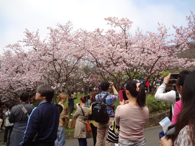 陽明山花季每年吸引百萬以上花迷前來朝聖。(圖/北市觀光局)