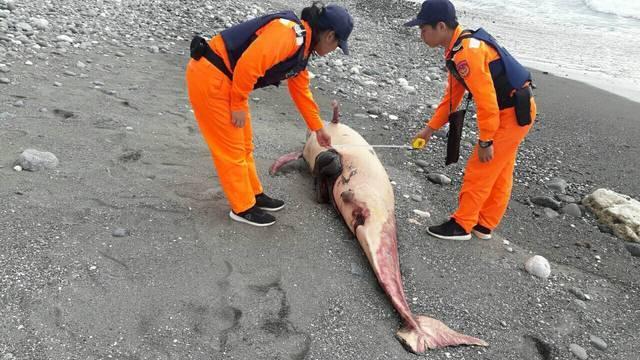 4天死3隻! 台東成功又見鯨豚擱淺 |