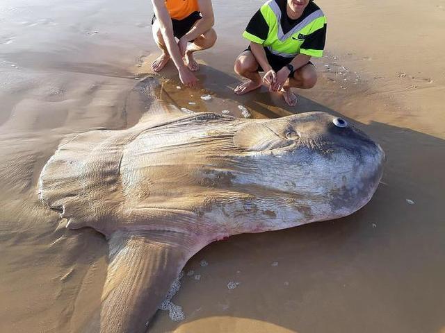澳洲驚見沉船殘骸 不料竟是「牠」! | 民眾起初以為翻車魚屍體是沉船殘骸(擷圖取自法新社)