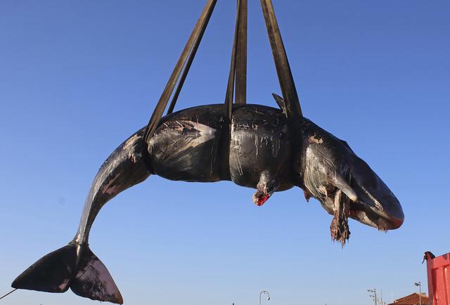慟! 抹香鯨帶球擱淺 肚中竟藏22公斤塑膠垃圾 | 抹香鯨懷著嚴重腐爛的死胎 (翻攝美聯社)