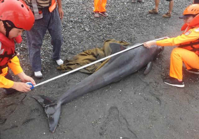 來不及長大! 虎鯨寶寶擱淺東岸搶救無效   小虎鯨後續將交由國立成功大學海洋生物及鯨豚研究中心處置。(翻攝海巡署)