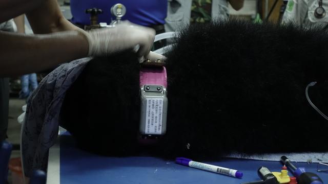 小熊頸上的衛星發報器(林務局提供)
