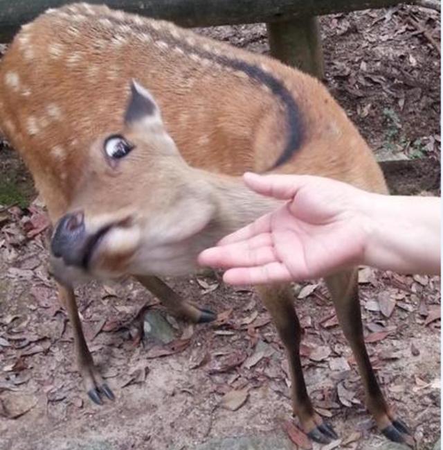 「殭屍鹿病」蔓延!我國禁美加韓進口鹿藥材 | 受到感染的鹿隻會影響腦部(資料照片)