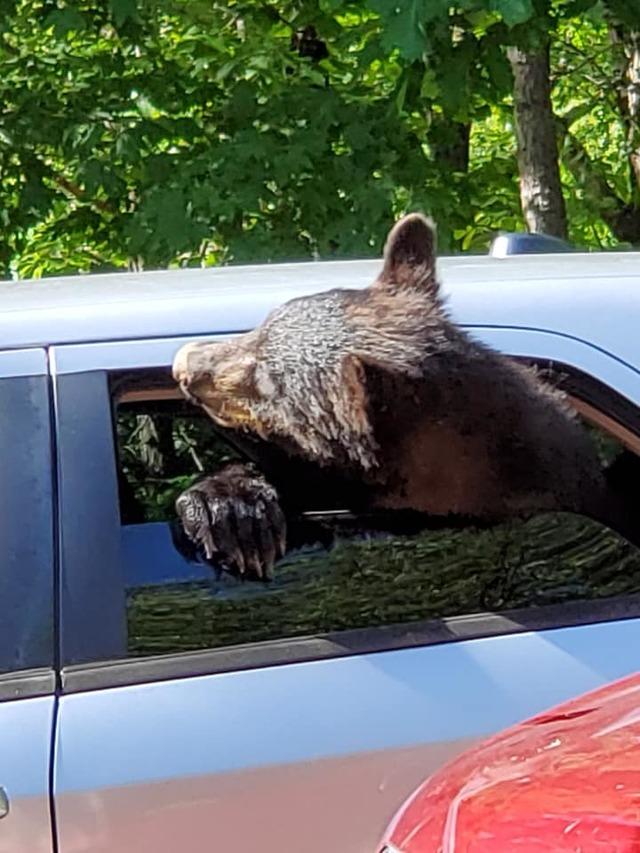 驚見小熊偷車賊? 棕熊一家四口劫車想兜風 | 棕熊看起來要把車開走(翻攝Chad Morris臉書)