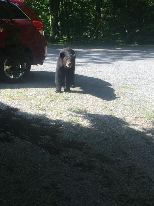 驚見小熊偷車賊? 棕熊一家四口劫車想兜風 | 疑似熊媽媽的大熊在車子外面守候(Chad Morris)