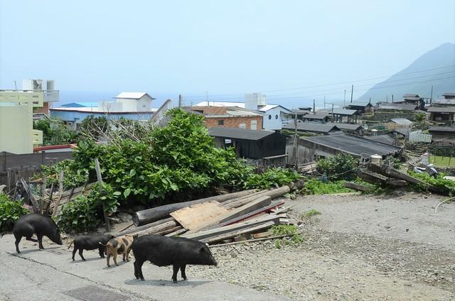 誠徵豬隊友賺獎金 蘭嶼9月開放原住民獵山豬! | 颱風造成蘭嶼的豬被野放到山上(台東縣政府提供)