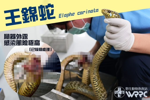 野生王錦蛇遭人類攻擊而皮開肉綻。(翻攝野生動物急救站臉書)