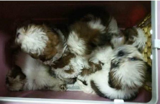 走私硬擠害死11犬! 主嫌判刑1年8月   小狗們擠在一起(圖/翻攝自AsiaOne)