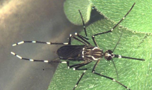 高雄登革熱預算還沒來? 疾管署指出關鍵點   埃及斑蚊雌蚊引發高雄登革熱疫情。(疾管署提供)