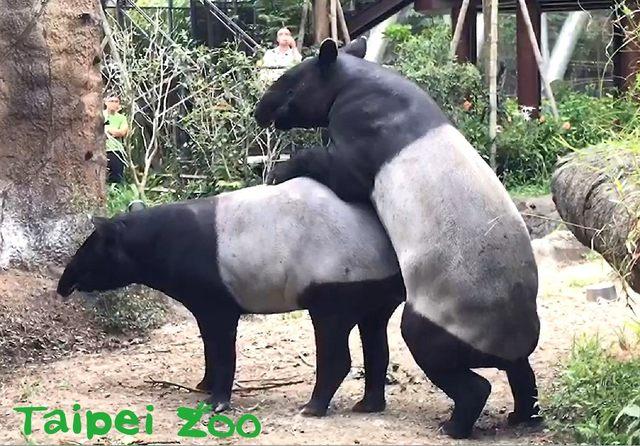 家有喜事!台北市立動物園馬來貘穩定交往中   「貘克」、「貘芳」也曾於4月初時首次出現駕乘的交配姿勢。(臺北市立動物園提供)