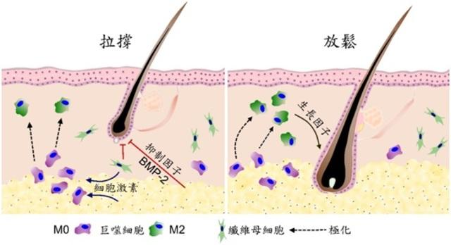 治禿有望!北榮:拉扯皮膚刺激生新髮 | 皮膚拉撐促進毛髮再生機制示意圖。/北榮提供