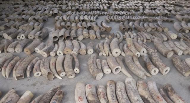 新加坡揭最大宗象牙走私 預估恐300非洲象遇害 |