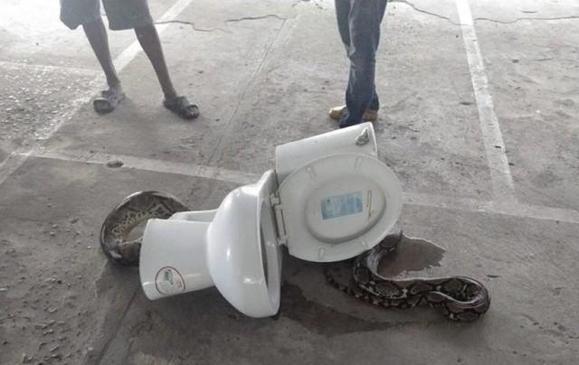 嚇瘋! 蹲廁所聽見「嘶嘶聲」 驚見4公尺蟒蛇躲馬桶  