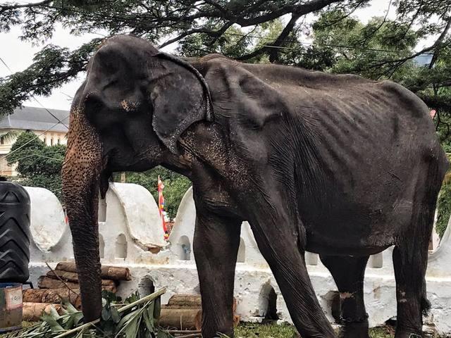 母象提琪莉華服下僅剩皮包骨。(翻攝臉書Save Elephant Foundation)