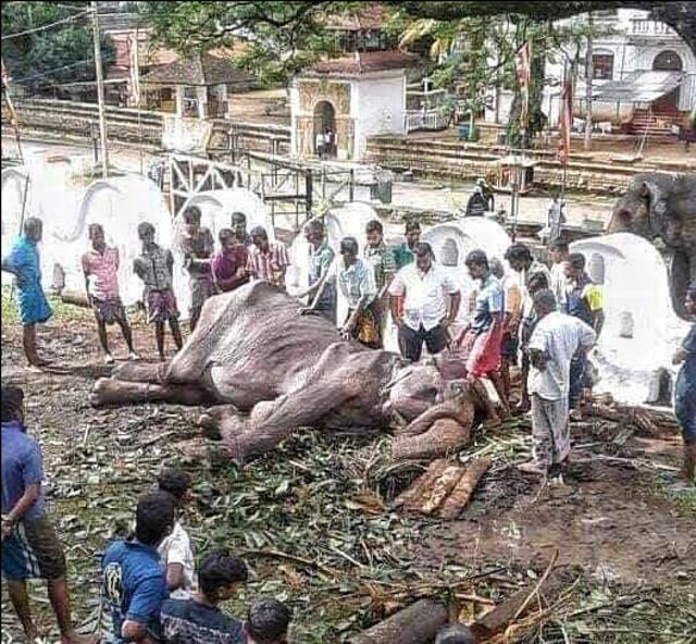 母象提琪莉虛弱的躺在地上,相當痛苦。(翻攝臉書Save Elephant Foundation)