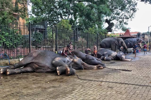 數十隻大象被迫連續遊行了好幾個夜晚。(翻攝臉書Save Elephant Foundation)