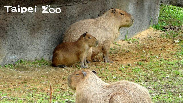 水豚(動物園提供)