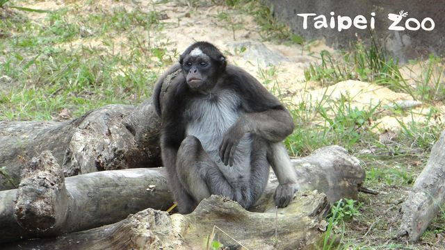 棕蜘蛛猴(動物園提供)