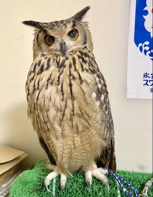 公開貓頭鷹秘密 網友笑稱「深藏不露」 | 日本網友上傳兩張貓頭鷹的對比照。(翻攝/twitter)