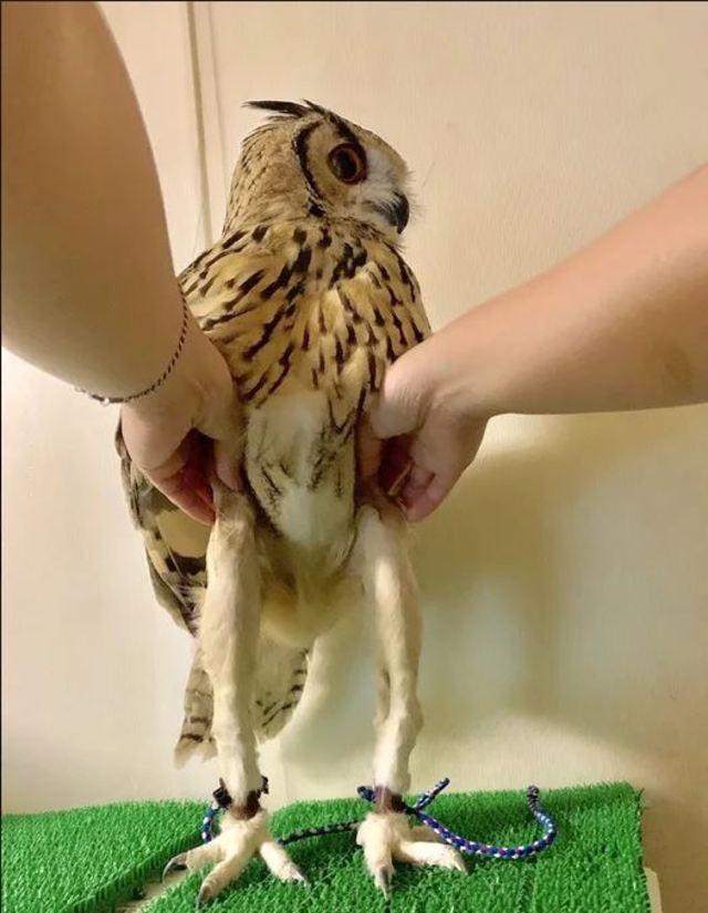 公開貓頭鷹秘密 網友笑稱「深藏不露」 | 雙腳居然佔了身體大部分。(翻攝/twitter)