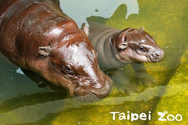 「秋祥」與媽媽「嬌秋」。(台北市立動物園提供)